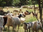 Glückliche Lämmer des Juradistl-Lamm-Betriebes Berching beim Grasen
